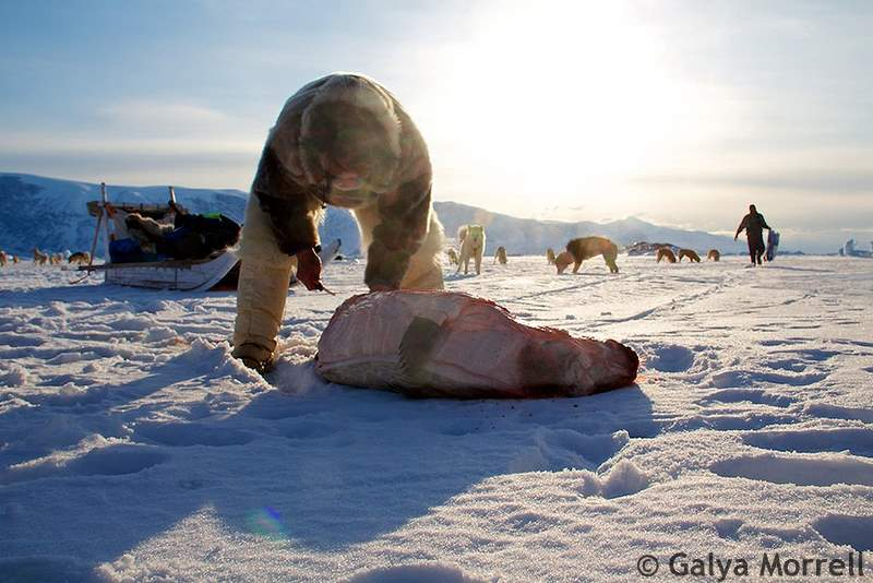 Seal is sliced by men on ice