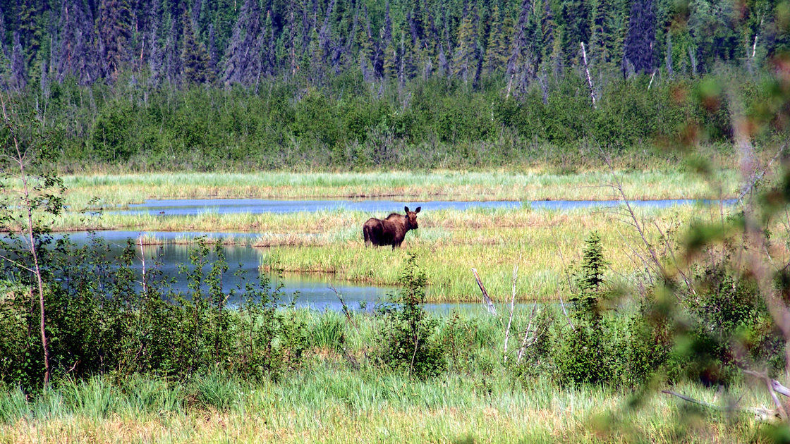 Moose_Alaska