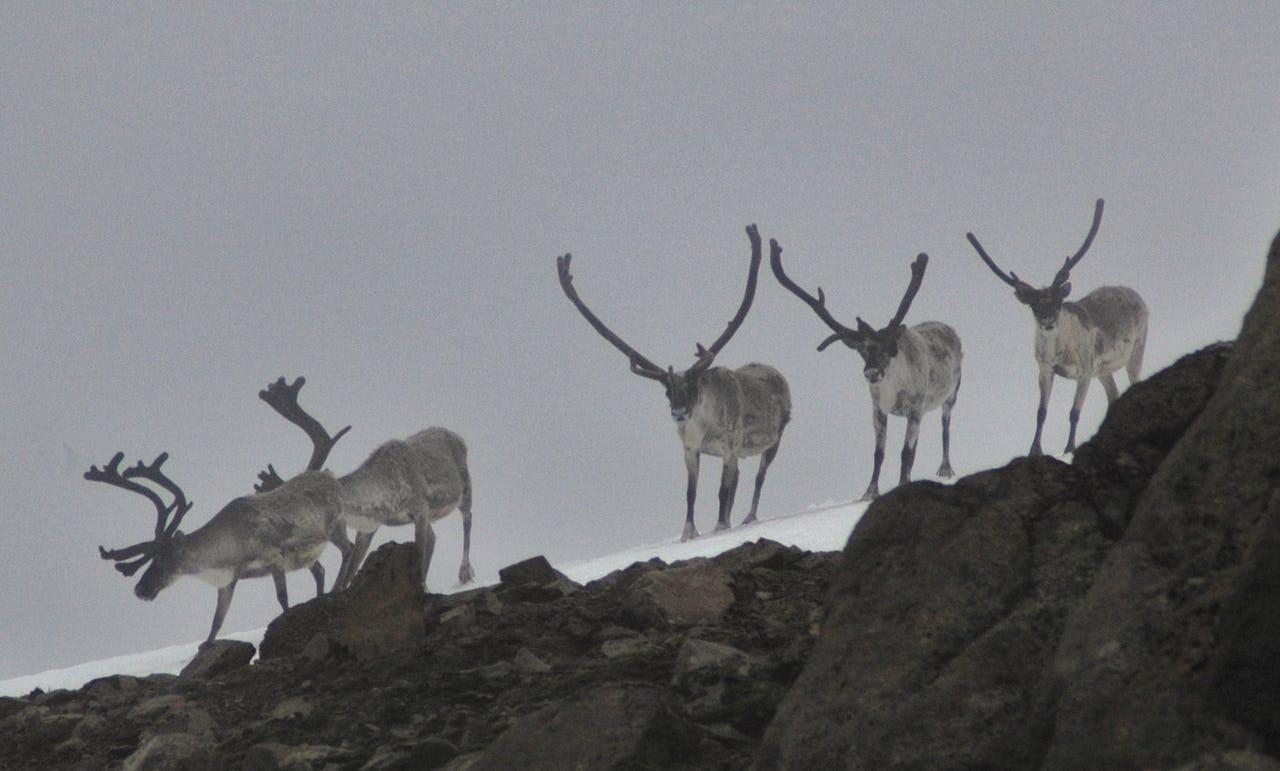 Reindeer on snow in mist