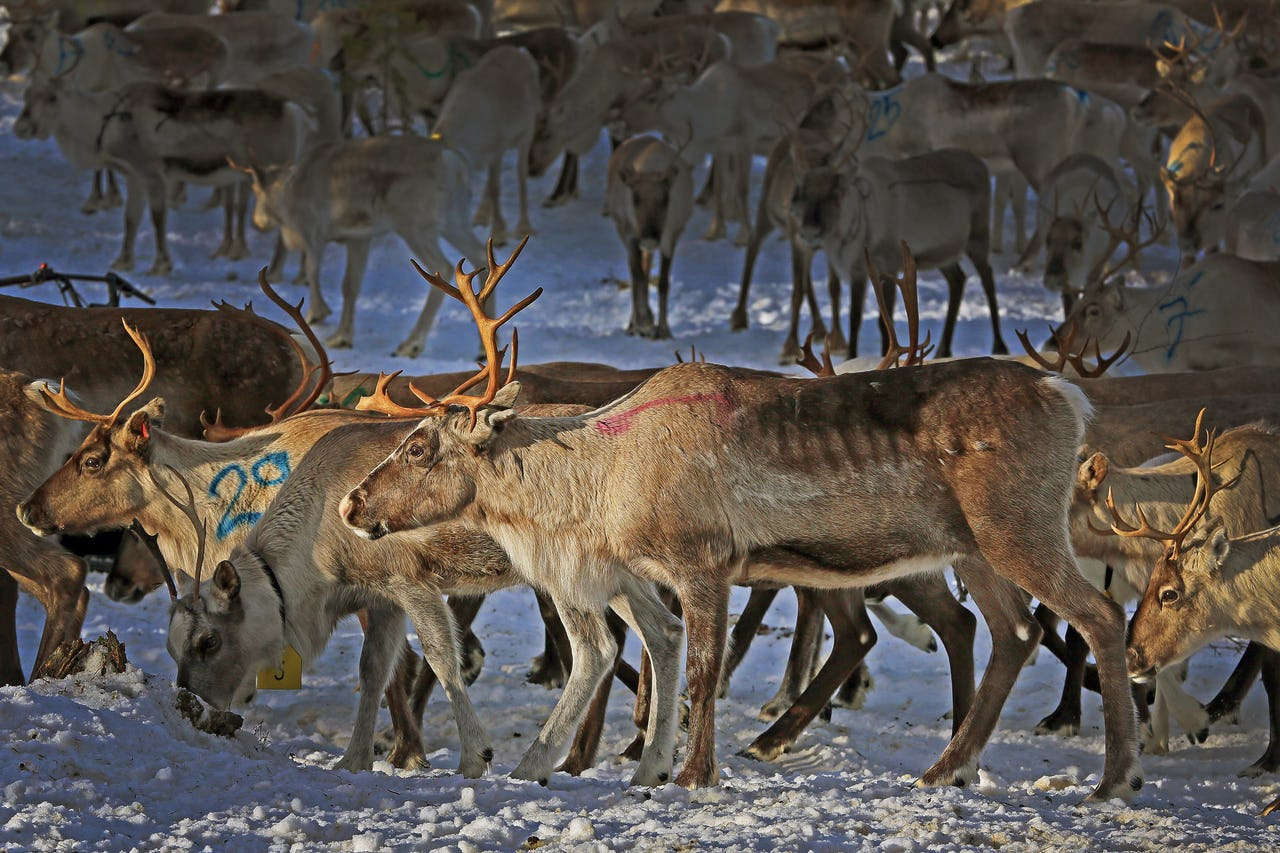 Many reindeer on snowy ground